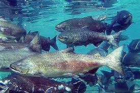 Snake River Fall Chinook Salmon Make A Comeback | Boise State Public Radio